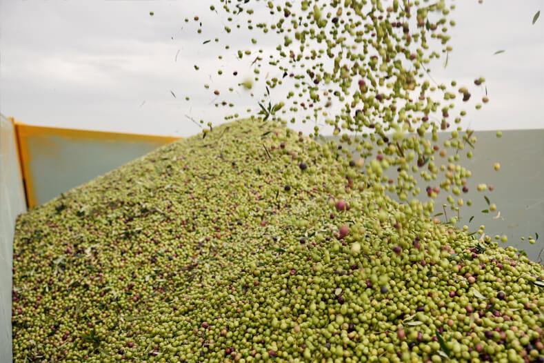 Collita olives arbequines Lleida oli premium dauliba