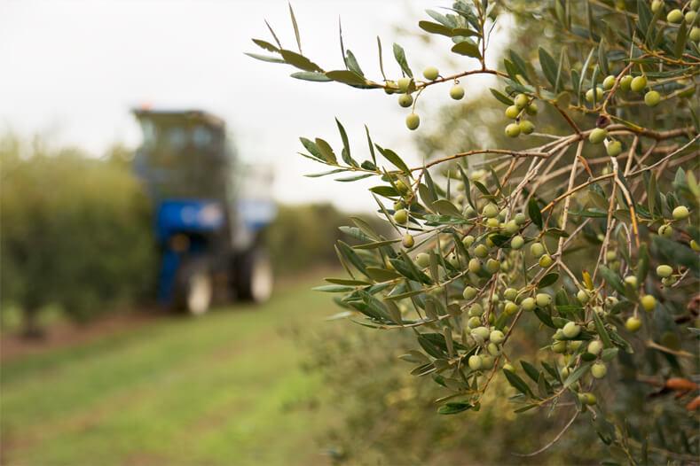 campo oliveras Arbeca aceite oliva premium dauliba