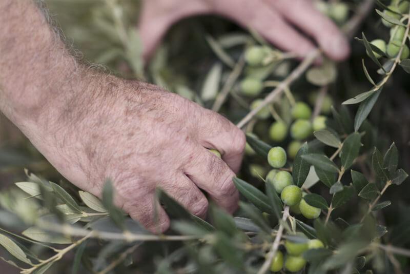 Collita tradicional olives arbequines